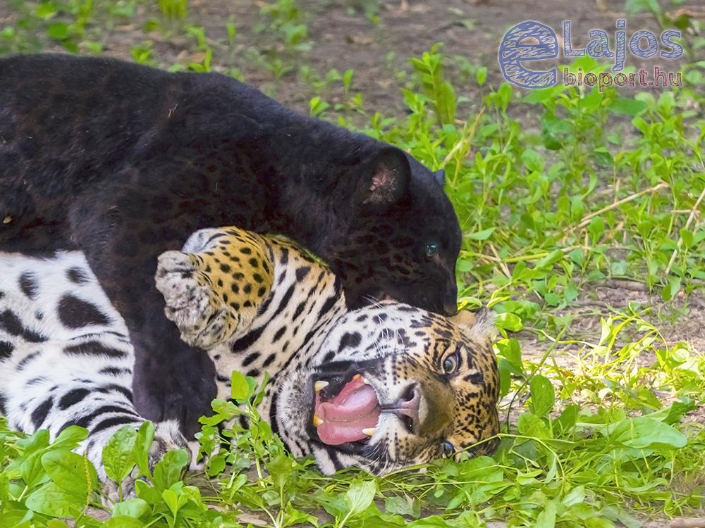 A puma és a leopárd