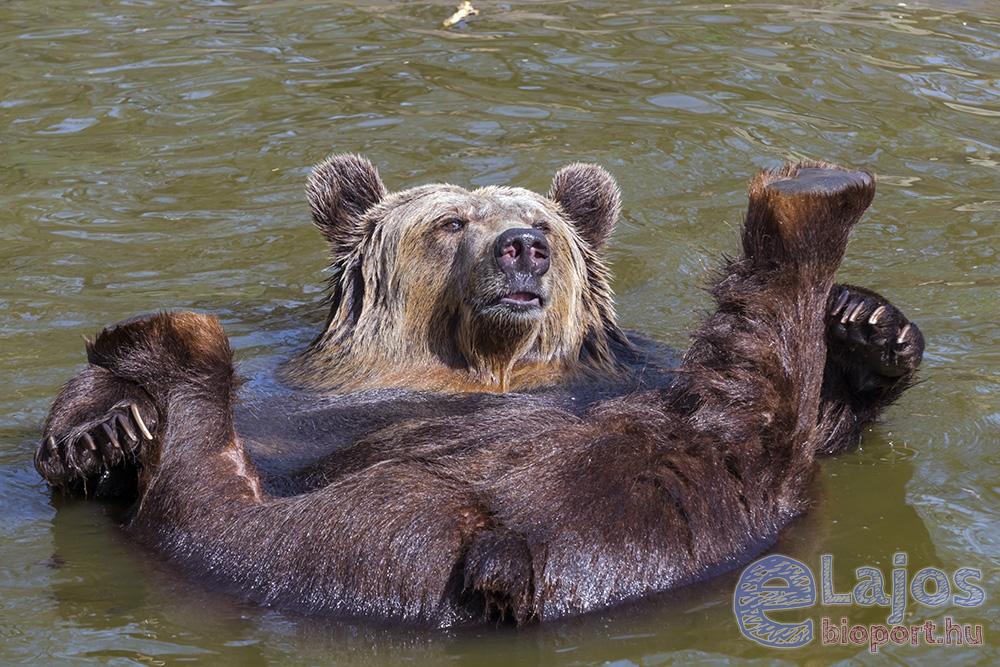 Medvék napjára napfényes strandos medveöröm
